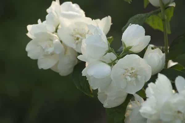 Harvesting Of Jasmine Flowers.