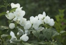 Jasmine Cultivation Project Report.