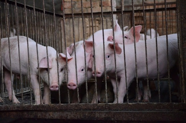 Pig Farming Project Report, Cost, Profit Guide   Agri Farming