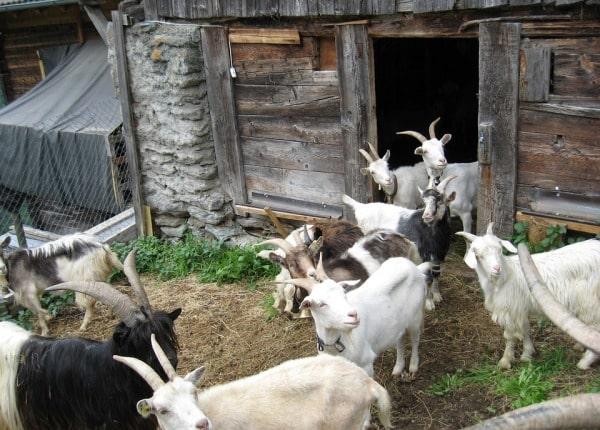 Goat Farming.