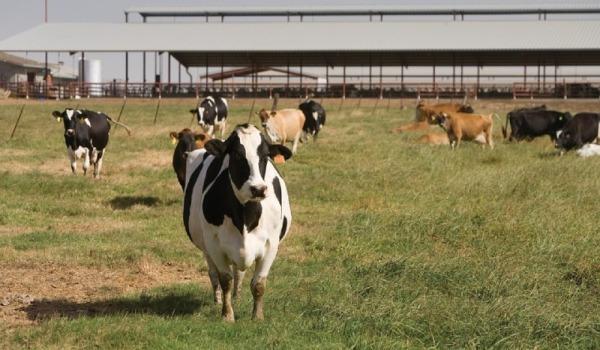 Organic Dairy Management.