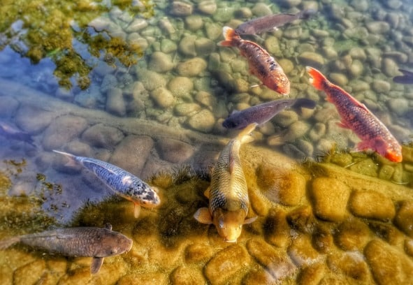 Raising Carp Fish In Backyard Pond.