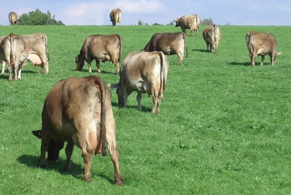 Pasture Importance In Organic Dairy Farm.