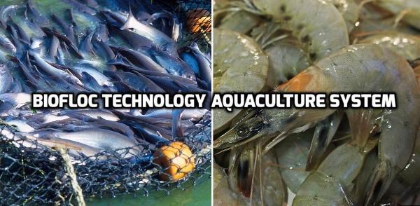 Biofloc Technology Aquaculture System Information | Agri Farming