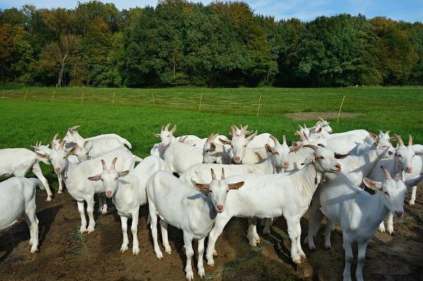 Government Schemes for Goat Farming Loan, Subsidy | Agri Farming