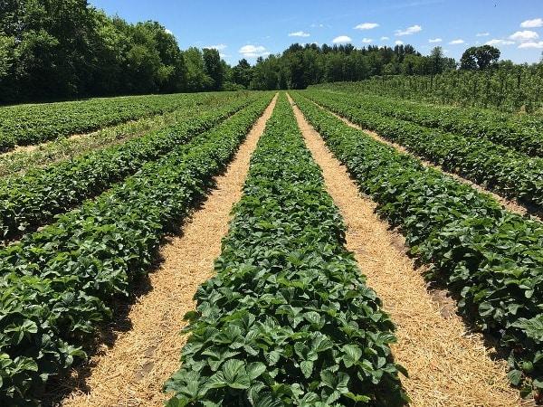 Organic Strawberry Cultivation.