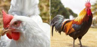 SBI Poultry Loan - Agri Farming