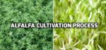 Alfalfa Cultivation.