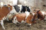 Dairy Farm Subsidy In Telangana.