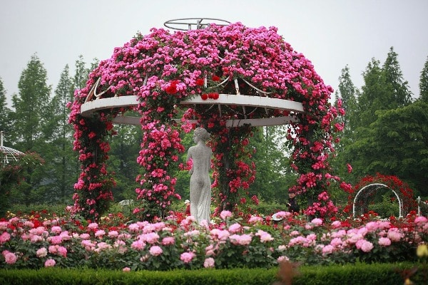Pruning of Rose Plant.