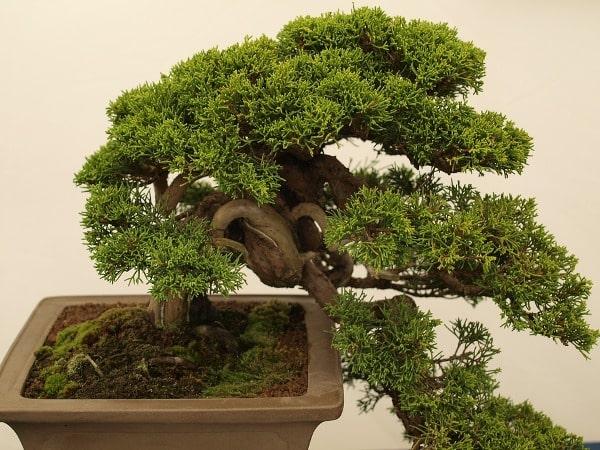 Bonsai Tree Care Tips Ideas Soil Watering Design Agri Farming
