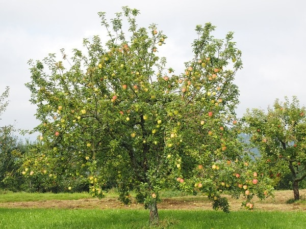 A well grafted apple trees.