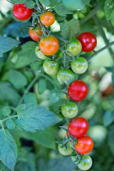Growing Cherry Tomatoes in Trays.