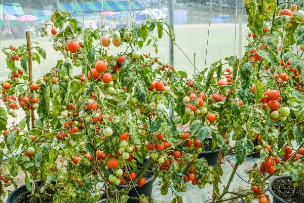 Growing Heirloom Tomatoes in Containers.