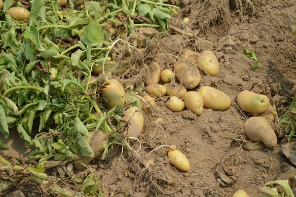 Harvesting of Potatoes.