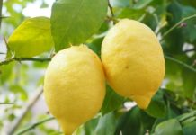 Lemon Tree Grafting.