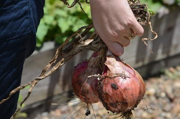 Onion Harvesting.