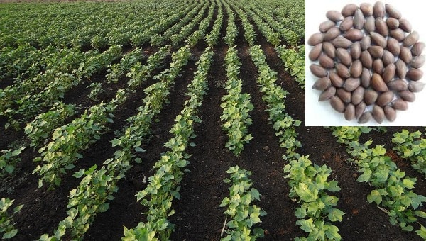 Organic Cotton Plantation.