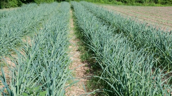 Organic Garlic Plantation.