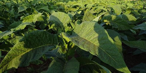 Organic Tobacco Plantation.