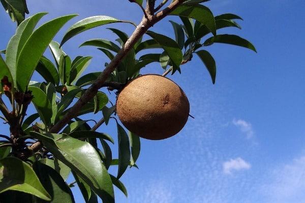 Pruned Sapota Tree.
