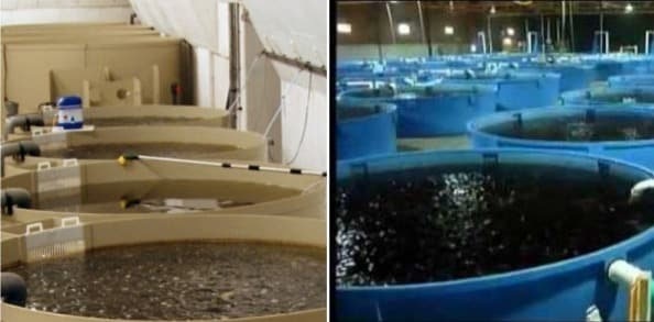RAS Fish Farming in India