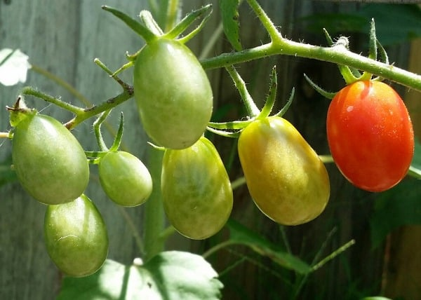 Roma Tomatoes.