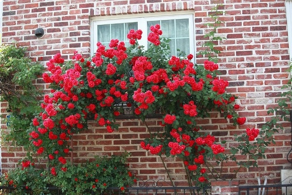 Rose Vine Trained against the Wall.