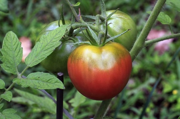 Soil Requirement for Heirloom Tomatoes.
