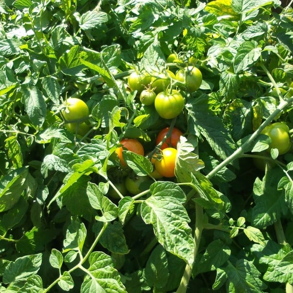 Temparature Requirement for Heirloom Tomatoes.