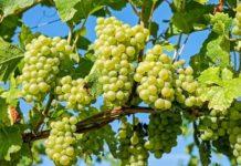 Grape Grafting.
