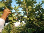 Guava Grafting.