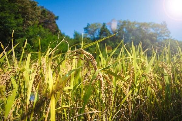 Healthy Rice Crop.