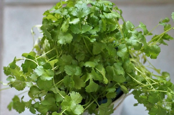 How To Grow Coriander in Pots on Terrace.