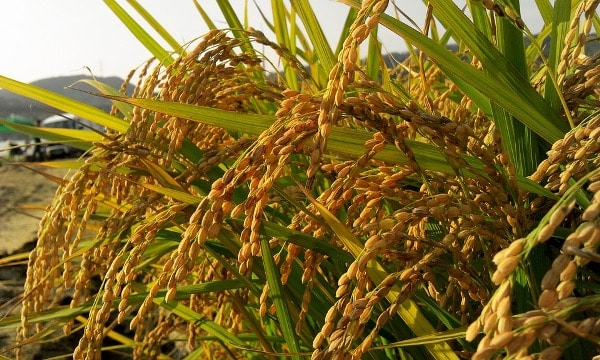 Major Paddy Insect Pests Control Measures Agri Farming