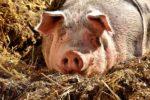 Pig Fattening Methods.
