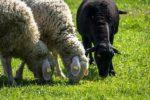 Sheep Fattening.