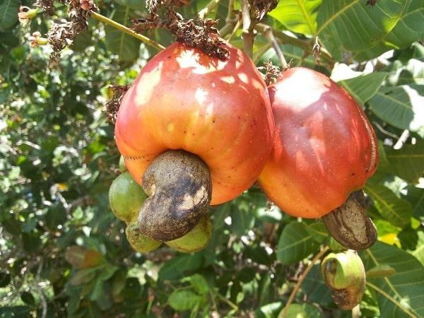 Kaju Cultivation Techniques.