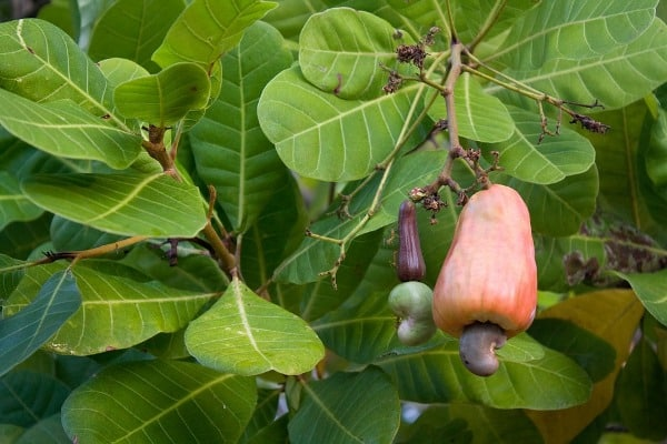 Cashew Cultivation Tips.