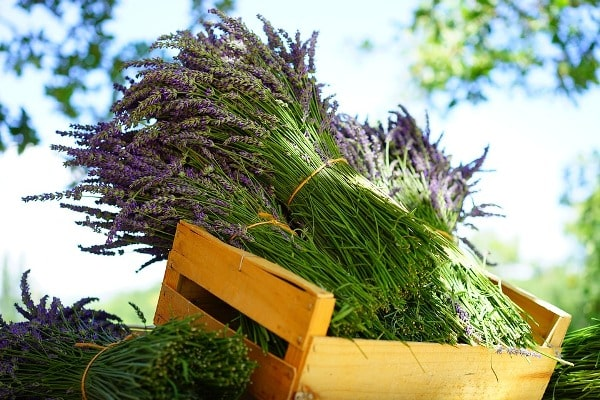 Harvested Lavender.
