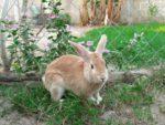 Rabbit Fattening.