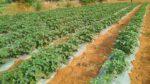Okra Farming Cost.