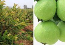 Taiwan Guava Farming.