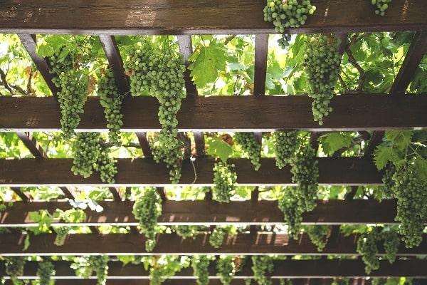Natural Grape Farming.