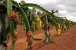Dragon Fruit Farming Profit.