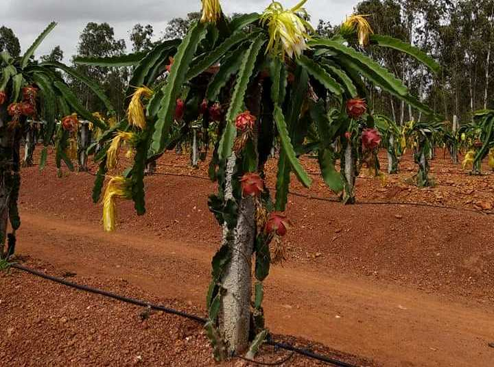 Cost of Dragon Fruit Cultivation.