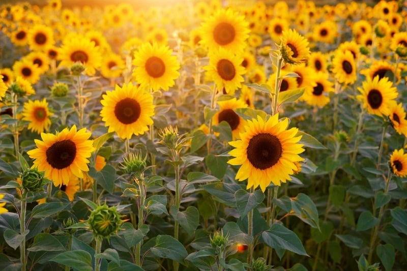 Sunflower Farming.