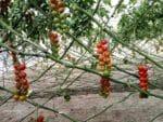 Tomato Profit Per Acre.