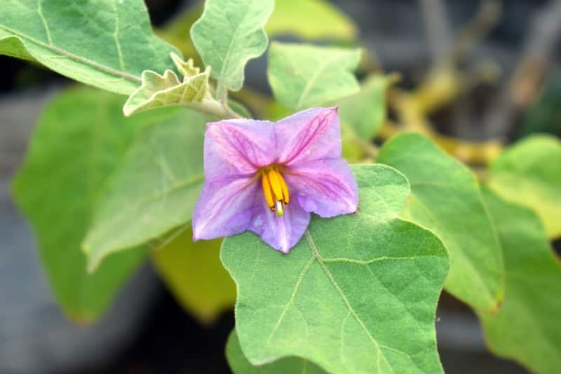 Flowering in Brinjal Farming.