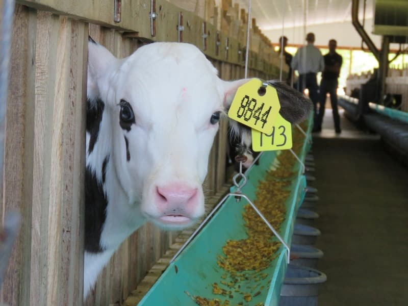 Feed Management of Dairy Calves.